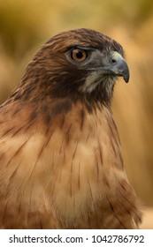 closeup of hawk
