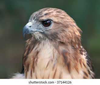 Close-up of hawk