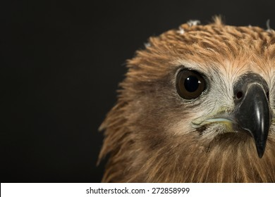 Closeup hawk isolate
