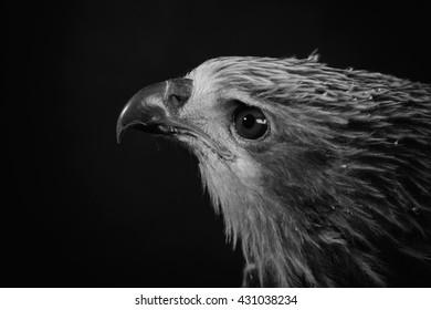 Closeup hawk on black background