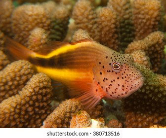 Closeup of Hawkfish / Maldives