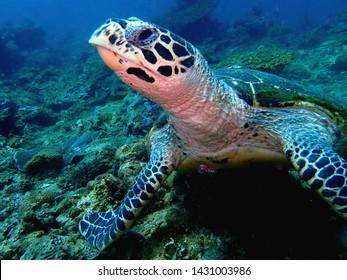 Closeup with the Hawksbill sea turtle during a leisure dive in Tunku Abdul Rahman Park, Kota Kinabalu. Sabah, Malaysia. Borneo.