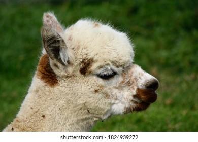 A close-up of an alpaca's head