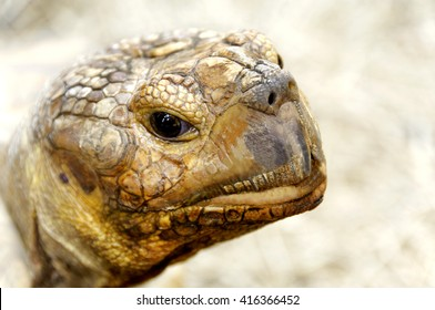 Closeup head of an African Spurred Tortoise.