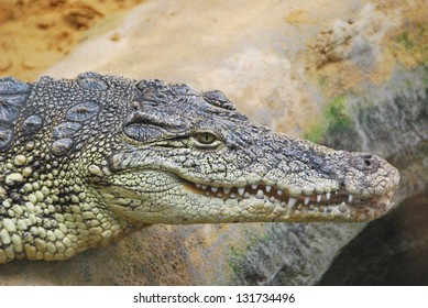 Close-up of the head of an alligator in a shore