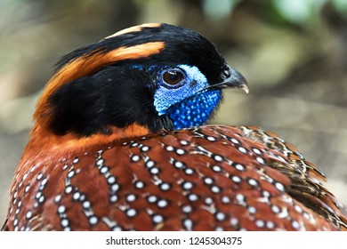 A closeup of the head of a bird (tragopan, horned pheasant). Side view
