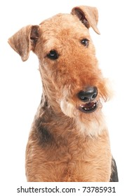 closeup head of Black brown Airedale Terrier dog isolated on white