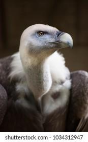 closeup head and body griffon vulture, Gyps fulvus, watching environment