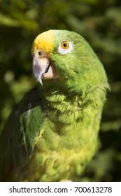closeup of head and body yellow-crowned amazon, Amazona ochrocephala