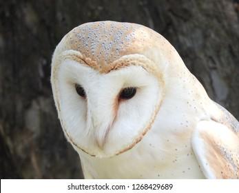 close-up head and breast common American  Andaman barn owl, tyto alba, titodinea, tyto, alba staring, staring, dark background.
