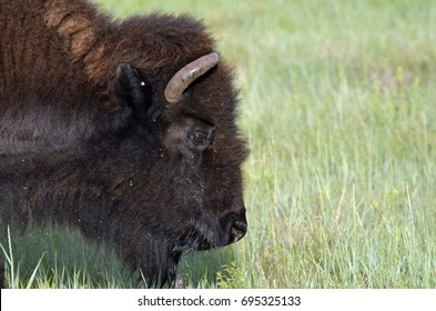 A close-up of the head of a buffalo with horns against a backdrop of the green grass on the prairie.