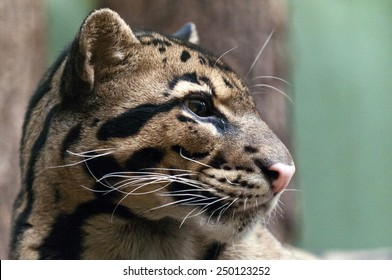 A closeup of the head of a clouded leopard