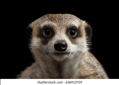Close-up head of Cute Meerkat, Funny portrait isolated on black background, front view