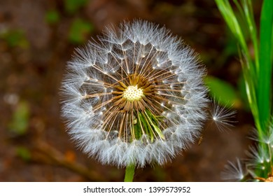 Close-up of the head of a dandelion (genus Taraxacum). In the middle you can see the seeds of the flower.