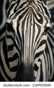 Close-up of head details African striped coat zebra. Photography of nature and wildlife.