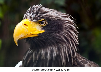 A closeup of the head of an eagle (Steller's sea eagle)