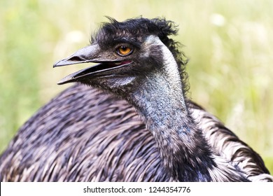 A close-up of the head of an emu. Side view