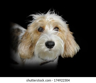 Close-up of the head of a French basset  hound, isolated on black background.