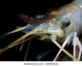 Closeup head of giant freshwater prawn or shrimp on black background with selective focus