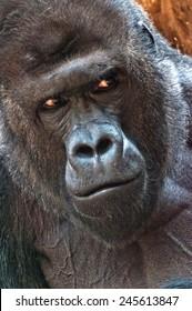 A closeup of the head of a gorilla