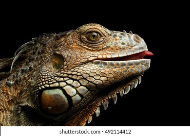Close-up Head of Green Iguana Gazing Scary and raising tongue Isolated on Black Background