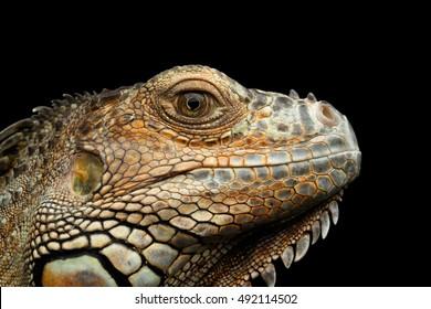Closeup Head of Green Iguana Looks Kind Isolated on Black Background
