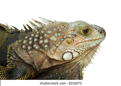 Closeup of the head of an iguana - isolated.