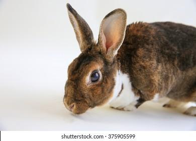 A closeup of a head of a Mini Rex rabbit