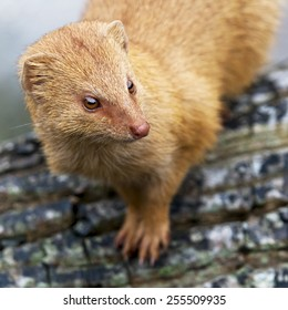 A closeup of the head of a mongoose
