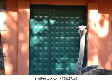 close-up of head of ostrich; background ostrich; head of ostrich