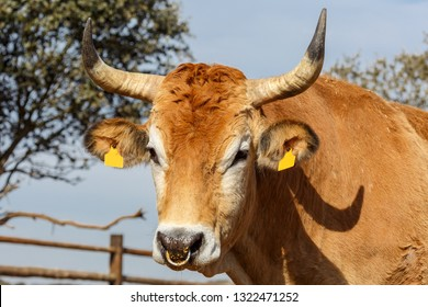 Close-up of the head of an ox with horns.