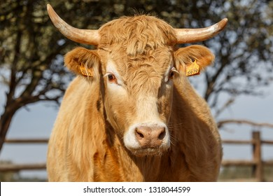 Close-up of the head of an Ox.  Spain.