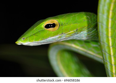 Close-up of the head and part of the body of an Asian Whip or Vine Snake   wild animal photographed at night in Bali