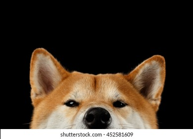 Close-up Head of peeking Shiba inu Dog, Looks Curious on Isolated Black Background, Front view