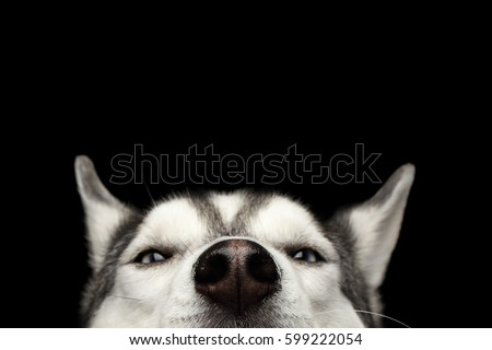Closeup Head Peeking Siberian Husky Dog Stock Photo Edit Now