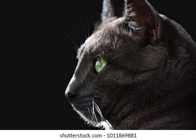 Close-up of head profile of cute European gray cat on black background