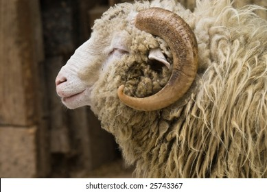 Close-up of a head of a ram