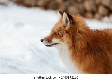 Close-up of head of a red fox, vulpes vulpes in the Zao Mountain, Miyagi, Sendai, Japan. Detail of predator staring forward looking for a prey. Wildlife scenery in winter and snow