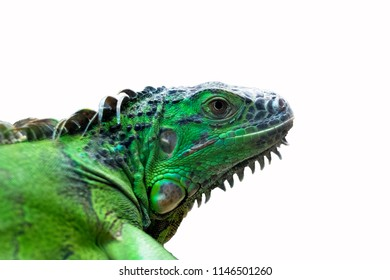 Close-up Head of Reptile, Young Green Iguana isolated on white background with clipping path.