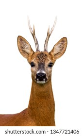 Close-up of head of roe deer, capreolus capreolus, buck isolated on white background.