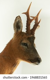 Close-up of head of roe deer, capreolus, buck isolated on white background.