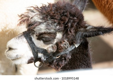 Close-up head shot of an adorable alpaca with halter.