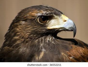 A close-up head shot of a buzzard.
