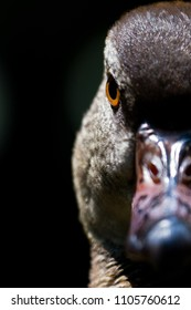 A close-up head shot of a duck. He looks very focus, mean and angry. It is a half face shot which highlight his eye and expression. This image will be useful for people who want convey series message.