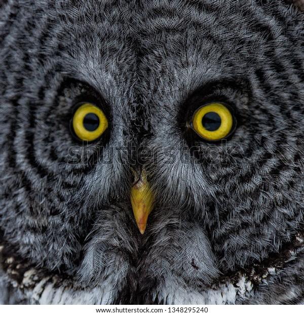 Closeup head shot of a great grey owl