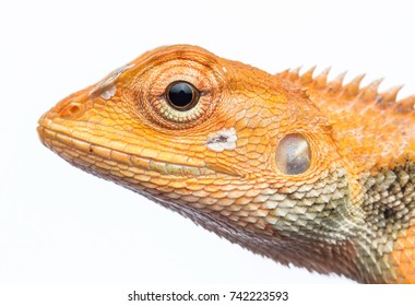 Closeup head shot of Oriental garden lizard - Calotes versicolor , Garden lizard , Changeable lizard with isolated white background.