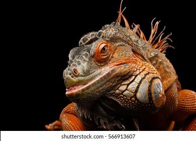 Close-up Head smiling Reptile, Orange green iguana isolated on black background, funny animal