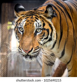 Closeup head of tiger on black background