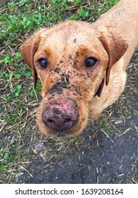 A close-up of the head of a very dirty Labrador retriever dog with dirt all over its face after a long and muddy dog walk in a funny dog image with copy space