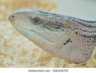 close-up head of viviparous reptile in the zoo